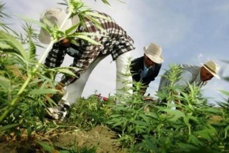 الأمم المتحدة تبوئ المغرب صدارة الدول المنتجة للقنب الهندي